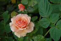 rose-sm